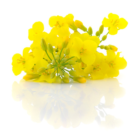 Mustard Flower blossom, Canola or Oilseed Rapeseed, close up , isolated on white background. Stock Photo