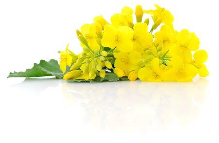 겨자 꽃 꽃, 카 놀라 또는 Oilseed rapeseed, 흰색 배경에 고립 가까이. 스톡 콘텐츠