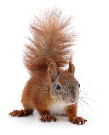 Eurasian Red Eichhörnchen isoliert auf weißem Hintergrund