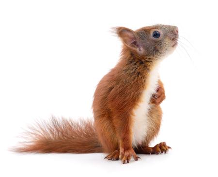 Europees-Aziatische rode eekhoorn die op witte achtergrond wordt geïsoleerd. Stockfoto - 84607429