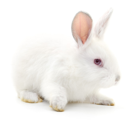 lapin: Isolated image of a white bunny rabbit.