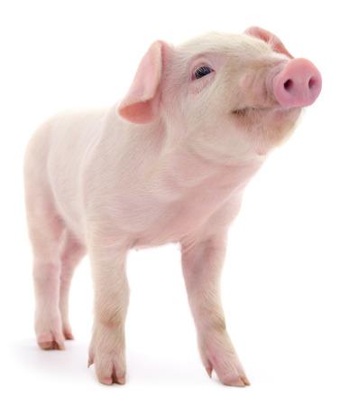 Schwein , das auf einem weißen Hintergrund dargestellt wird Standard-Bild - 88183567