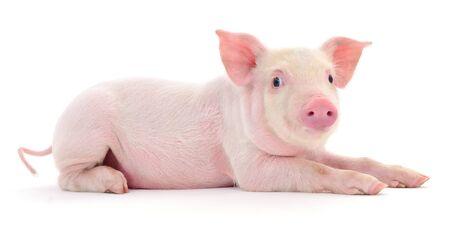 Schwein , das auf einem weißen Hintergrund dargestellt wird