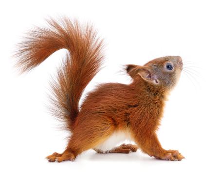 écureuil rouge eurasien isolé sur fond blanc