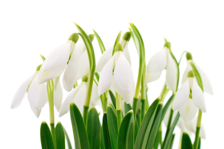 Spring snowdrop flowers bouquet isolated on white Stock Photo - 90935660
