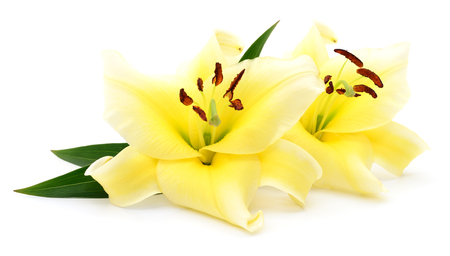 Two yellow lilies isolated on a white background. Stock Photo