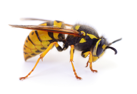 Gelbe Wespe isoliert auf weißem Hintergrund.