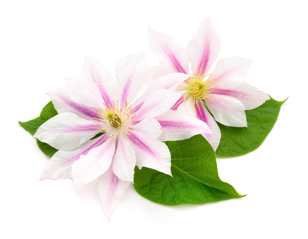 Two pink clematis isolated on white