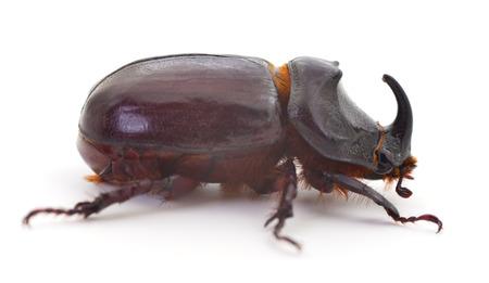 Macro photography of rhinoceros beetle isolated on white
