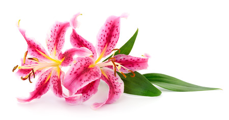 Two pink lilies isolated on a white