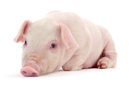 Small pink pig isolated on white