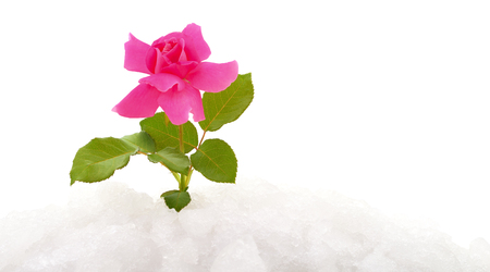 Pink rose on snow isolated on white Stock Photo