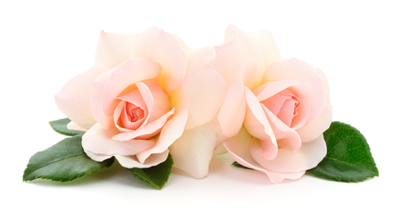 Two beautiful pink roses on a white