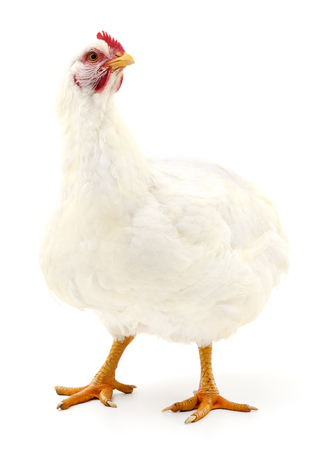 White hen isolated on white, studio shot 스톡 콘텐츠