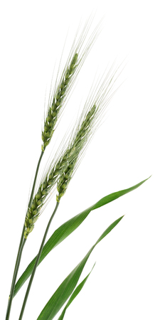Ears of wheat on a white Standard-Bild - 118851983