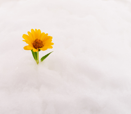 Yellow flower on snow isolated on white