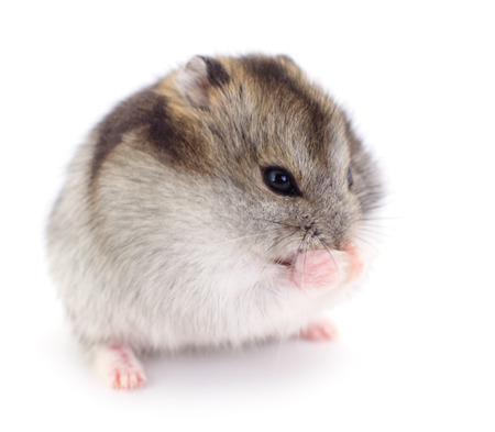Small domestic hamster isolated on white