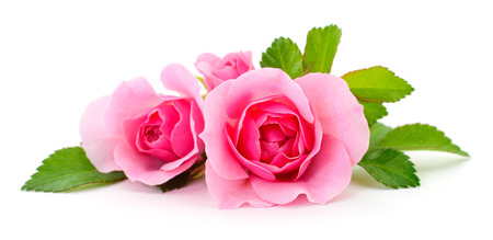 Three beautiful pink roses on a white