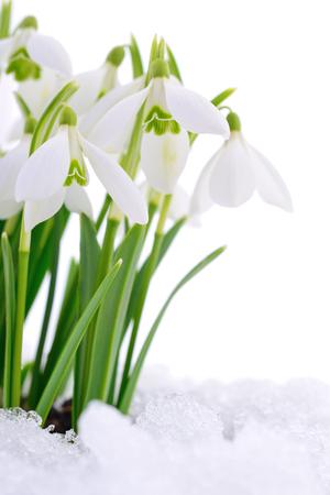 Fiore di bucaneve che esce dalla neve reale isolata su bianco.