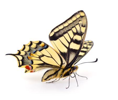 Old World Swallowtail (Papilio machaon) butterfly on a white Imagens