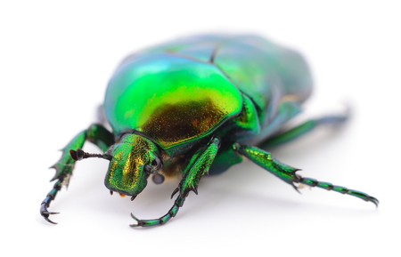 Green beetle insect rose chafer (cetonia aurata) isolated on white
