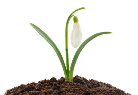 Spring snowdrop flowers (Galanthus nivalis) isolated on white Imagens