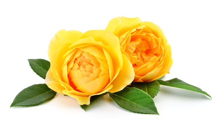 Two beautiful yellow roses on a white