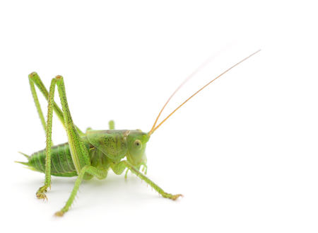 Green locust isolated on a white Imagens
