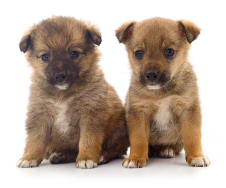 Two Baby Puppies isolated on white background.