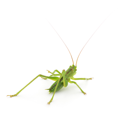 Green locust isolated on a white background Imagens