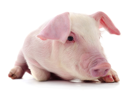 Pig who is represented on a white Imagens