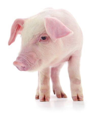 Cochon qui est représenté sur un blanc