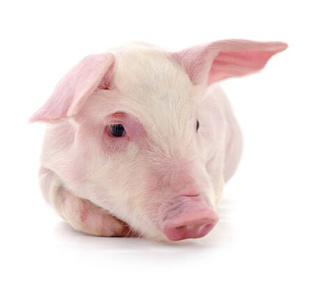 Pig who is represented on a white Stock Photo