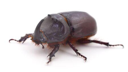 Male of rhinoceros beetle  (Oryctes Nasicornis) isolated on white. Stock Photo