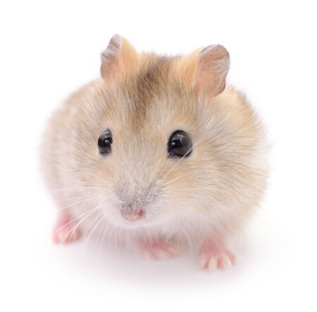 Piccolo criceto domestico isolato su bianco