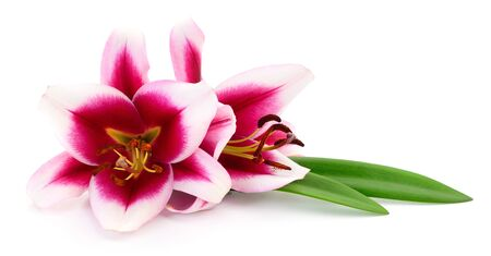 Two pink lilies isolated on a white background. 스톡 콘텐츠