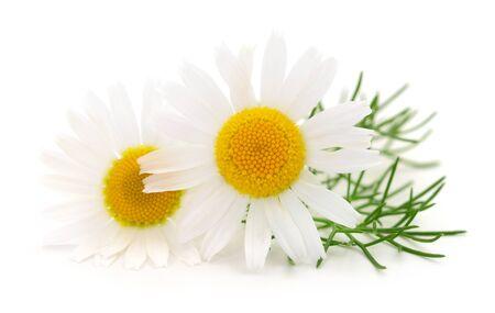 Ramo de flores de manzanilla aislado sobre fondo blanco. Foto de archivo