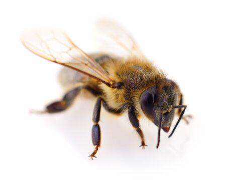 Primer disparo de una abeja aislado sobre fondo blanco.