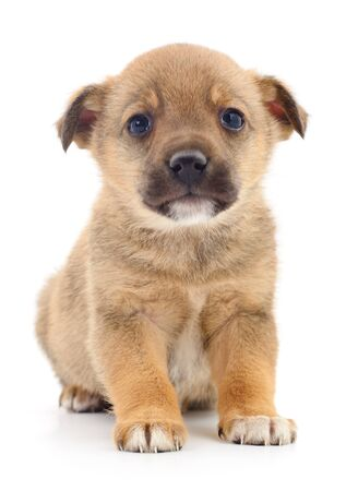 A little pup isolated on a white