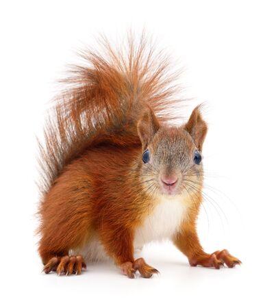 Écureuil roux eurasien isolé sur fond blanc. Banque d'images