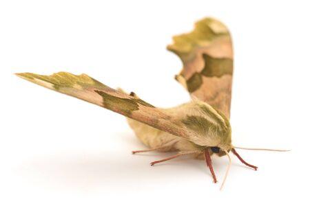 Lime Hawk-Moth (Mimas Tiliae) on a white background. Standard-Bild
