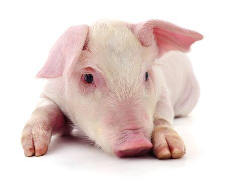 Schwein, das auf einem weißen Hintergrund dargestellt wird