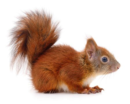 Eurasian red squirrel isolated on white