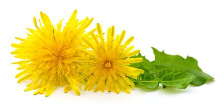 Two dandelions with leaves isolated on white background. Reklamní fotografie