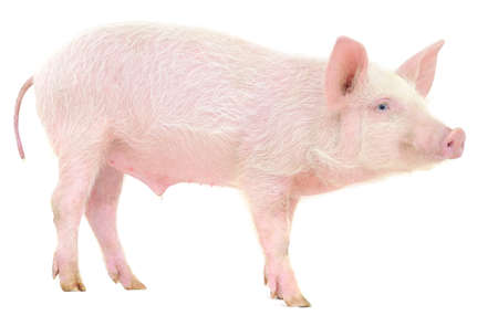 Pig who is represented on a white background Archivio Fotografico