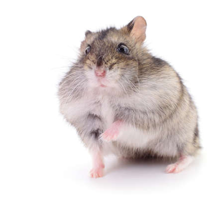 Small domestic hamster isolated on white background. Banque d'images