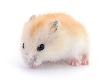Small domestic hamster isolated on white background. Archivio Fotografico