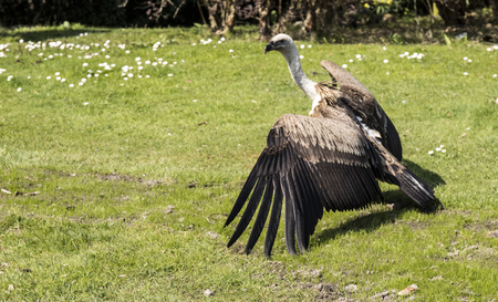 flesh eating animal: European griffon vultures on the green grass