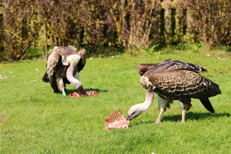 European griffon vultures (Gyps fulvus fulvus) eating