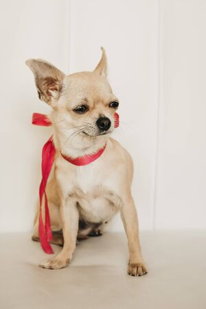 Closeup portrait of small funny beige mini chihuahua dog, puppy girl with pink ribbon, white background